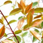 Clifton Nurseries Photinia x fraseri Red Robin - Foliage