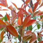 Clifton Nurseries Photina x fraseri Red Robin - Foliage