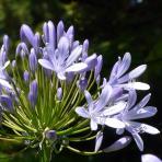 Clifton Nurseries Agapanthus africanus blue