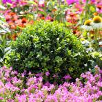 Clifton Nurseries Buxus sempervirens Ball
