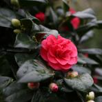 Clifton Nurseries Camellia japonica Lady Campbell