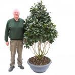 Clifton Nurseries Camellia japonica Lady Campbell Bonsai - Bowl