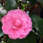 Clifton Nurseries Camellia japonica Mrs Tingley