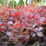 Clifton Nurseries Cotinus Royal Purple leaves