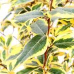Clifton Nurseries Elaeagnus x ebbingei Gilt Edge - Leaves