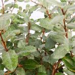 Clifton Nurseries Elaeagnus x ebbingei leaves