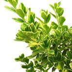 Clifton Nurseries Euonymus japonicus Bravo - Foliage