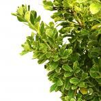 Clifton Nurseries Euonymus japonicus Bravo - Leaves