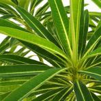 Clifton Nurseries Euphorbia mellifera - Foliage