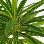 Clifton Nurseries Euphorbia mellifera - Leaves