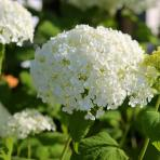 Clifton Nurseries Hydrangea arborescens Annabelle flower