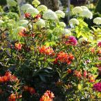 Clifton Nurseries Hydrangea arborescens Annabelle shrub