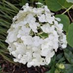 Clifton Nurseries Hydrangea arborescens Annabelle Incrediball