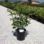 Clifton Nurseries Hydrangea paniculata Vanille Fraise bush