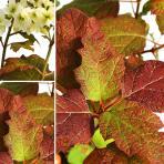 Clifton Nurseries Hydrangea quercifolia Snow Queen
