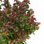 Clifton Nurseries - Leucothoe Curly Red - Foliage
