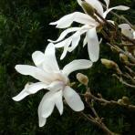 Clifton Nurseries Magnolia stellata