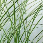Clifton Nurseries Miscanthus sinensis Morning Light 5L