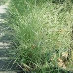 Clifton Nurseries Miscanthus sinensis Morning Light Grass