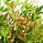 Clifton Nurseries Nandina domestica Gulf Stream 10L - foliage