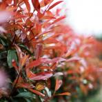 Clifton Nurseries Photinia Red Robin shrub