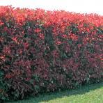 Clifton Nurseries Photinia x fraseri Red Robin hedge