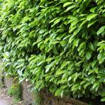 Clifton Nurseries Laurel hedge