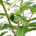 Clifton Nurseries Prunus laurocerasus Novita - Leaf detail