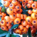 Clifton Nurseries Pyracantha Saphyr Orange