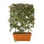 Clifton Nurseries Trachelospermum jasmionoides - Box Frame