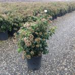 Clifton Nurseries Viburnum tinus Eve Price 10L