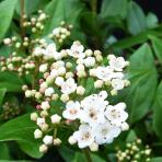 Clifton Nurseries Viburnum tinus Eve Price flowers