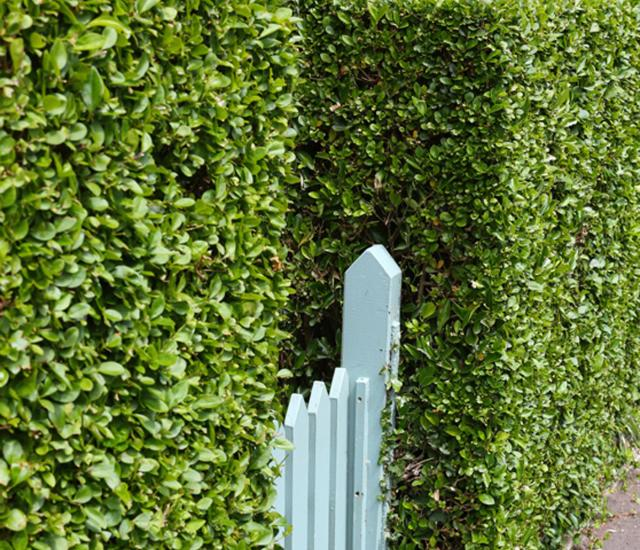 Clifton Nurseries Hedging Blog