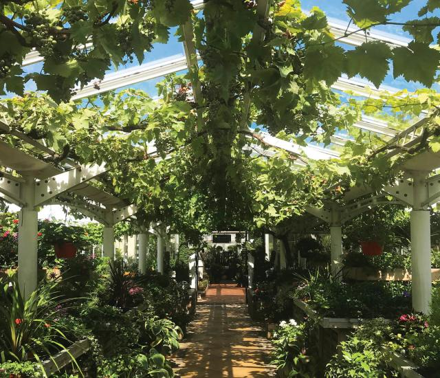 Clifton Nurseries engaged by Marylebone Cricket Club
