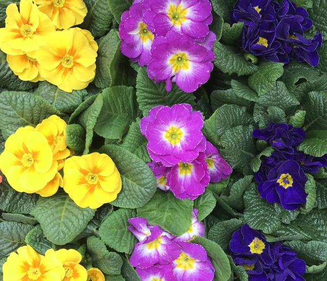 Clifton Nurseries - Primroses