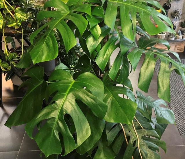 Clifton Nurseries Specimen Houseplants