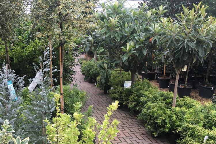 Clifton Nurseries Surrey specimen plants