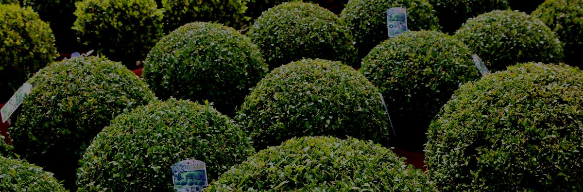 Clifton Nurseries Buxus sempervirens - Banner