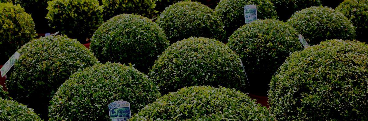 Clifton Nurseries Buxus sempervirens - Banner