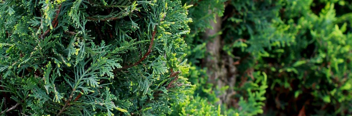 Clifton Nurseries Cupressocyparis leylandii pyramidalis spiral - Banner