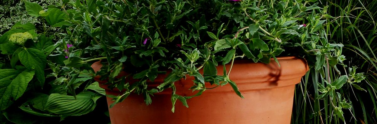 Clifton Nurseries Pot Company Terracino Florentine Pot - Banner