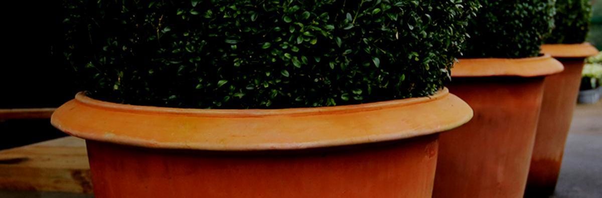 Clifton Nurseries Terracini Camellia Pot - Banner