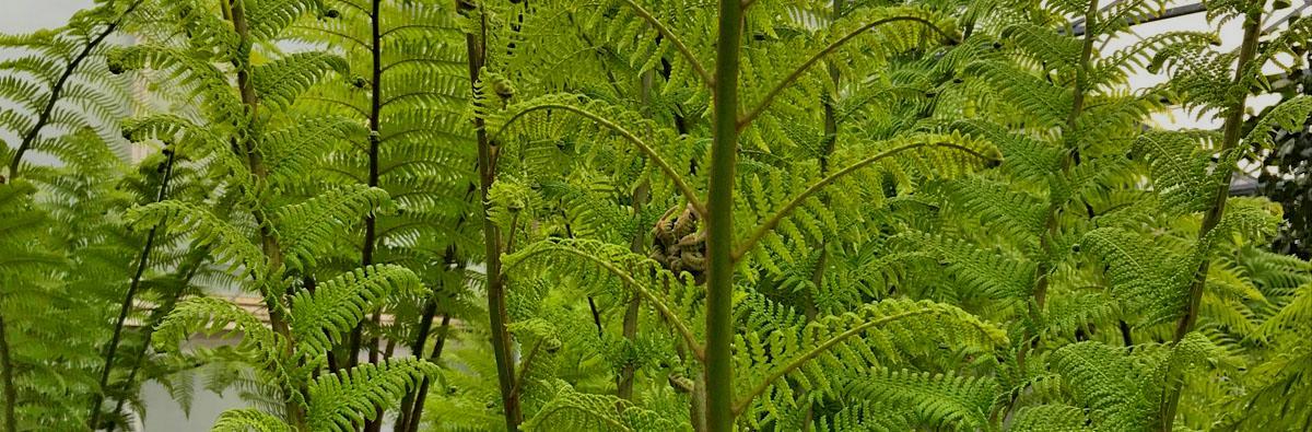 HSK Tree Fern Feed