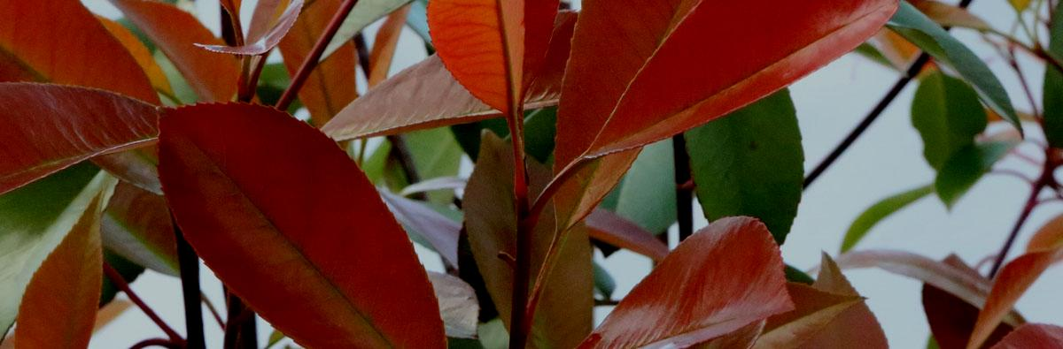 Clifton Nurseries Photinia x fraseri Red Robin