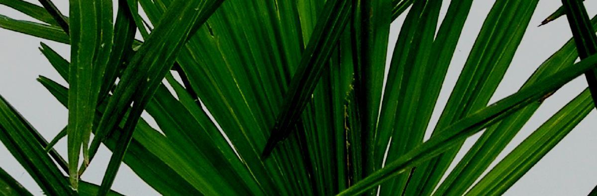Clifton Nurseries Trachycarpus fortunei - Banner