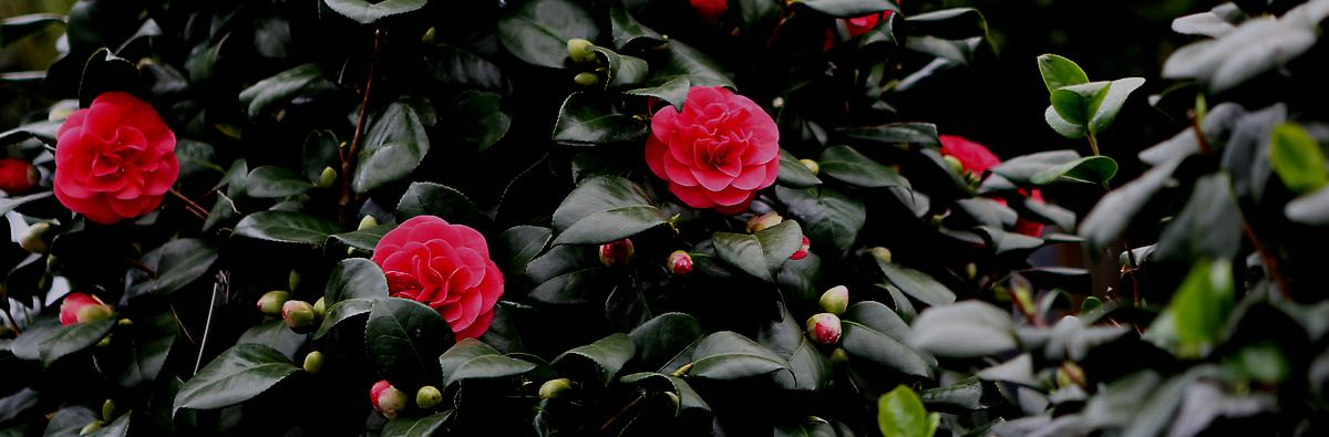 Clifton Nurseries Camellia japonica Lady Campbell - Banner