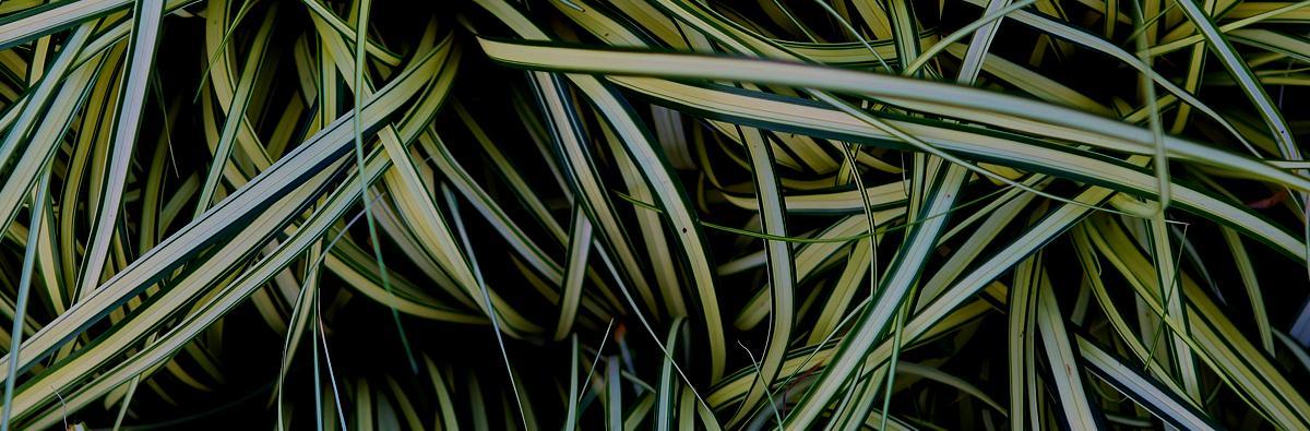 Clifton Nurseries Carex Evergold - Banner