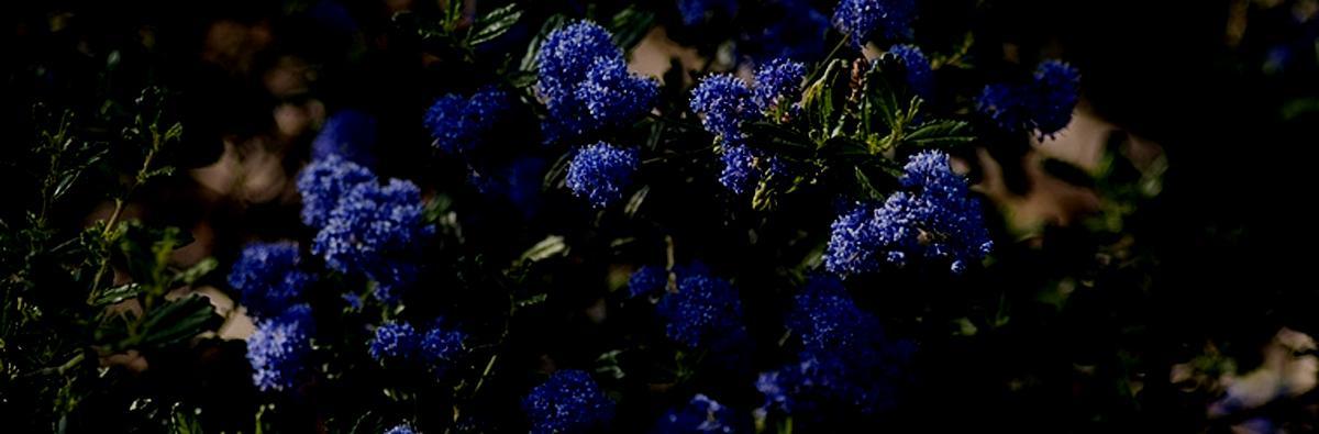 Clifton Nurseries Ceanothus thrysiflorus Skylark - Banner