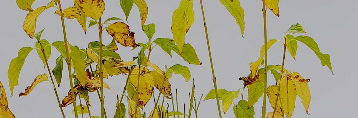 Clifton Nurseries Cornus stolonifera Flaviramea - Banner