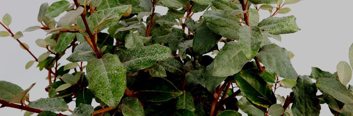 Clifton Nurseries Elaeagnus x ebbingei banner